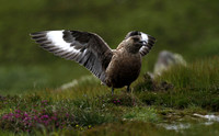 Great skua (Bonxie)