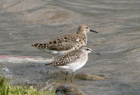 Wood sandpiper (with ruff)