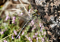 Golden-ringed hawker