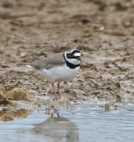 Little ringed plover - male