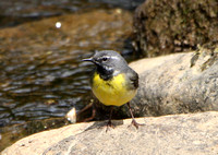 Grey wagtail - male