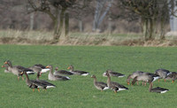 Greenland white-fronted goose