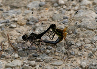 Black darter - male & female