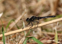Black darter - male