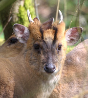 Muntjac deer - male