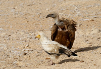 Egyptian vulture
