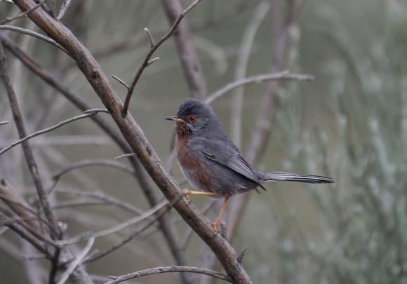 Dartford warbler