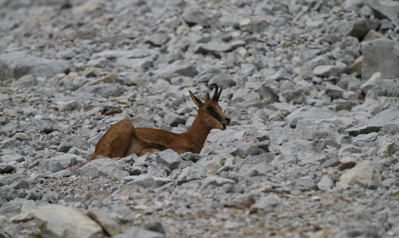 Chamois or isard