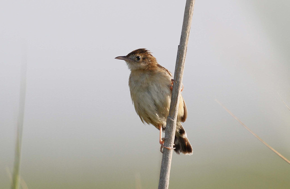 Fan-tailed warbler