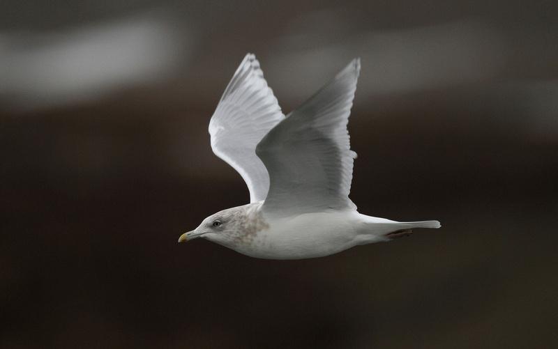 Iceland/Kumlien's gull