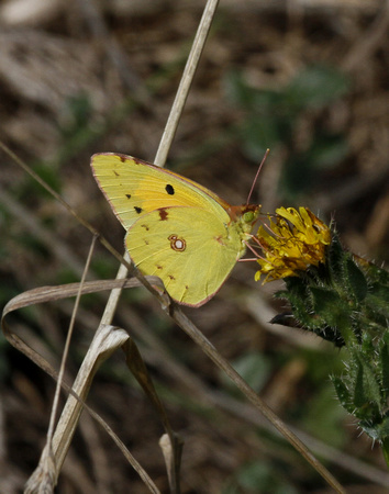 Clouded yellow